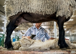 Frank Lanik of Ceresco, Neb. sheers his granddaughter's sheep to prepare it for show at the Lancaster County Super Fair at the Lancaster Event Center. KRISTIN STREFF/Lincoln Journal Star